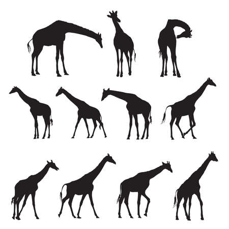 Set of black silhouettes of giraffes isolated on white bacground