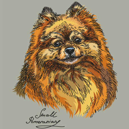 Small Pomeranian vector hand drawing illustration in different color on grey background