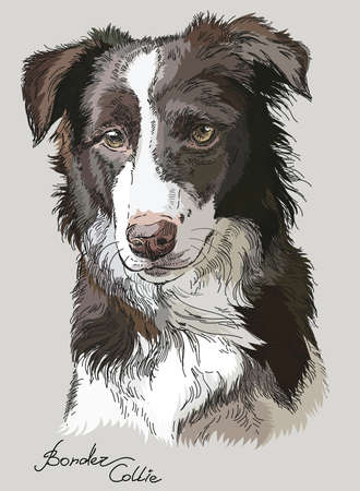 Border collie vector hand drawing illustration in different color on grey background Illustration