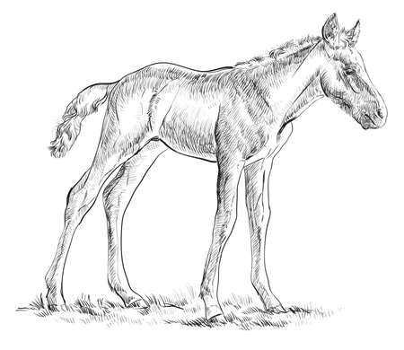 Standing in grass Foal vector hand drawing illustration in black and white Ilustração