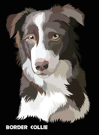 Colored Border collie isolated vector portrait on black background