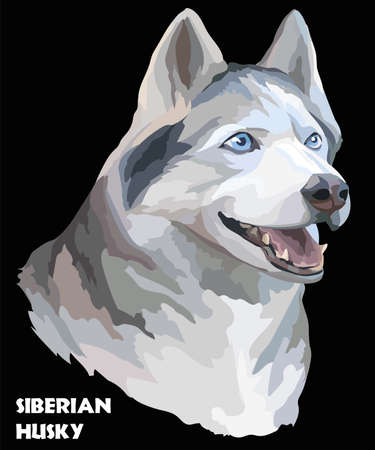 Vector colored portrait of siberian husky hand drawing Illustration on black background Ilustrace