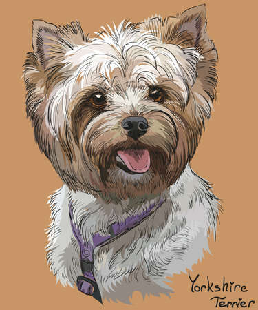 Vector Portrait of Yorkshire Terrier in diferent color hand drawing Illustration on orange background
