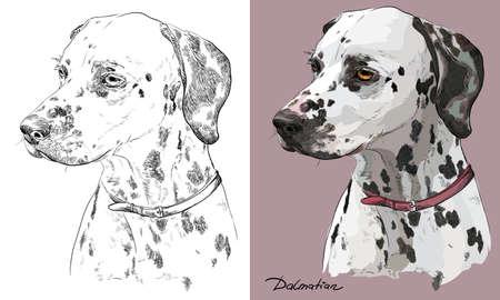 Farbiges dalmatinisches Hundeporträt auf rosa Hintergrund und und schwarze Farbe auf weißer Hintergrundvektorhandzeichnungsillustration