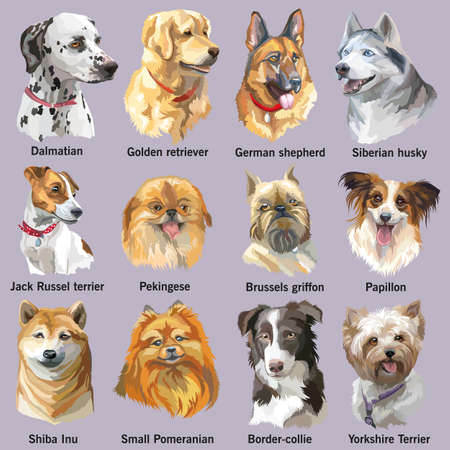 Set of colorful vector portraits of dog breeds (siberian husky, border-collie; german shepherd; shiba Inu; golden retriever; Dalmatian, jack Russel terrier, yorkshire Terrier, papillon, small pomeranian, brussels griffon; Pekingese) isolated on white back