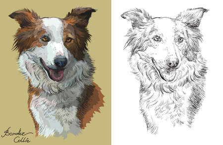 Colored Border collie portrait on beige background and and black color on white background vector hand drawing illustration Vettoriali