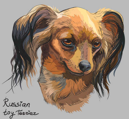 Vector colorful outline portrait of Russian long-haired toy Terrier, hand drawing Illustration on grey background