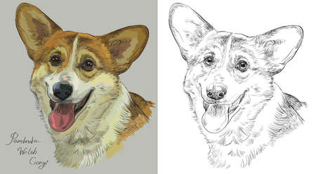 Colored Pembroke Welsh Corgi portrait on grey background and and black color on white background vector hand drawing illustration