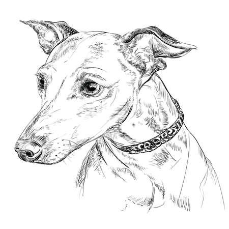 Vector contorno retrato de galgo italiano en color negro mano dibujo ilustración sobre fondo blanco Foto de archivo - 83485161