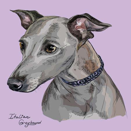 obediencia: Vector el retrato colorido del esquema del galgo italiano, ejemplo del dibujo de la mano en fondo púrpura