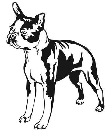 Decorative portrait of standing in profile boston terrier.