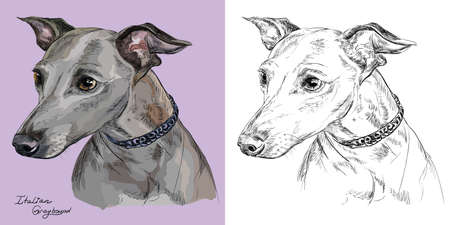 Colored Italian Greyhound portrait on purple background and black color on white background vector hand drawing illustration