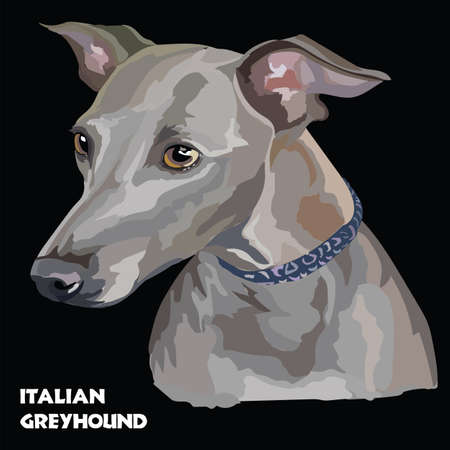 Colored Italian Greyhound, isolated vector portrait on black background Illustration