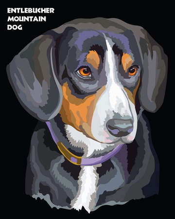 Colored portrait of Entlebucher Mountain Dog isolated vector illustration on black background Illustration