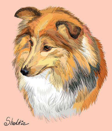 Sheltie (Shetland sheepdog) vector hand drawing illustration in different color on pink background