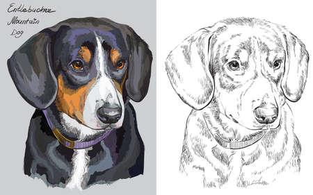 회색 배경 및 흰색 배경에 검정색에 Entlebucher 산 강아지의 다채로운 초상화 벡터 손 그리기 그림