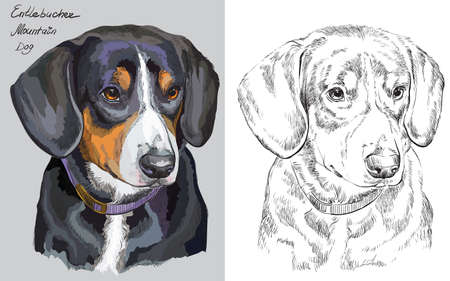 Colorful portrait of Entlebucher Mountain Dog on grey background and black color on white background vector hand drawing illustration