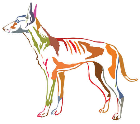 Colorful contour decorative portrait of standing in profile dog Podenco Ibicenco (Ibizan Hound).