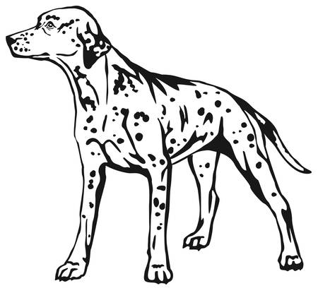 Decorative contour portrait of standing in profile Dalmatian. Illustration