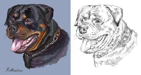 Portrait coloré de Rottweiler sur fond bleu et couleur noire sur fond blanc dessin illustration de main. Banque d'images - 86625599