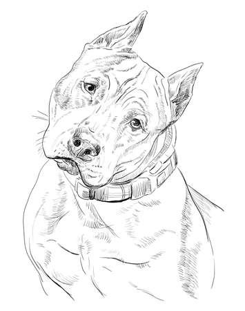 Ilustração do desenho da mão do vetor do Staffordshire Terrier americano na cor preta isolada no fundo branco Foto de archivo - 89511940