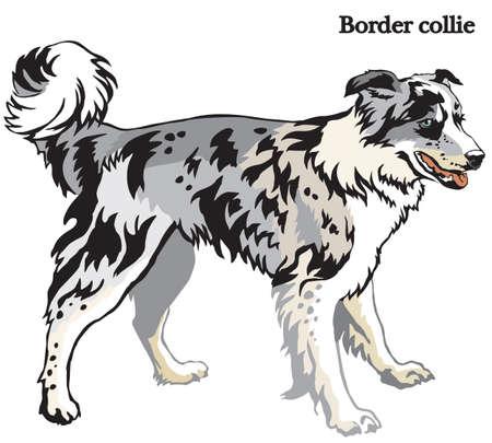 Portret van status in Border collie van de profielhond (blauwe merelkleur), kleurrijke vectorillustratie die op witte achtergrond wordt geïsoleerd