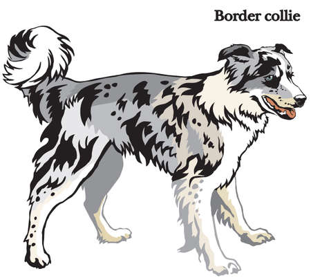 Portrait of standing in profile dog Border collie (blue merle color), vector colorful illustration isolated on white background Illustration