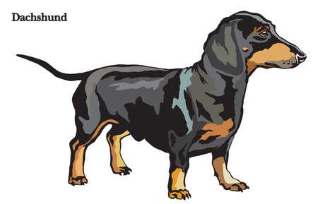 プロファイルの犬ダックスフンド、白い背景で隔離ベクトル カラフルなイラストに立っての肖像画