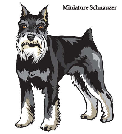 Portrait of standing in profile dog Miniature Schnauzer vector colorful illustration isolated on white background