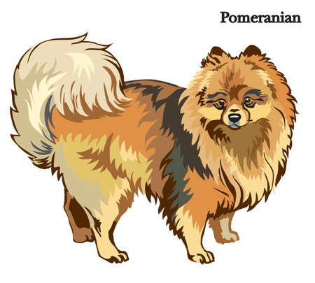 Portrait of standing in profile dog Pomeranian, vector colorful illustration isolated on white background Illustration