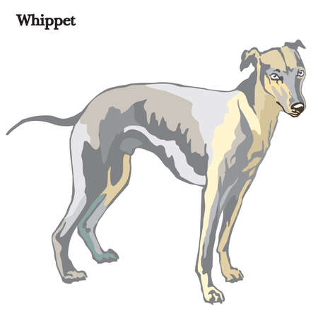 Portrait of standing in profile dog Whippet vector colorful illustration isolated on white background