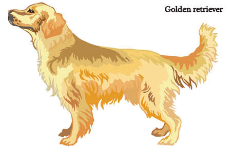 Portrait of standing in profile dog Golden retriever, vector colorful illustration isolated on white background