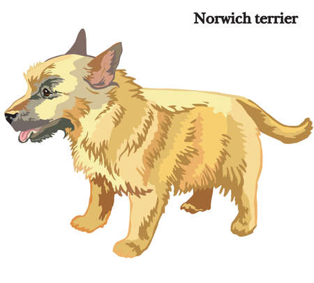 Portrait of standing in profile dog Norwich terrier, vector colorful illustration isolated on white background Illustration