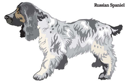 Portrait of standing in profile dog Russian Spaniel, vector colorful illustration isolated on white background Illustration