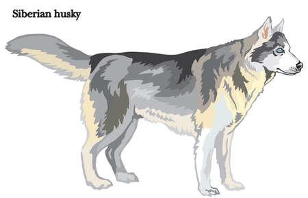 プロフィール犬シベリアハスキーに立つ肖像画、白い背景に隔離されたベクトルカラフルなイラスト  イラスト・ベクター素材