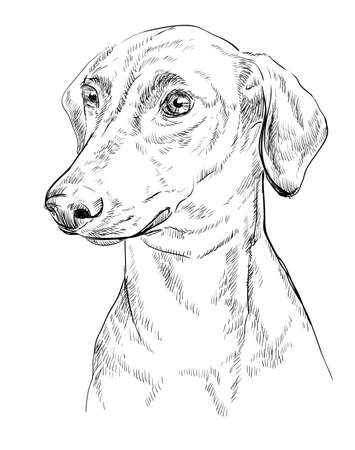 German Pinscher hand drawing in black color isolated on white illustration.