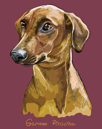 German Pinscher drawing in different color on pink illustration.