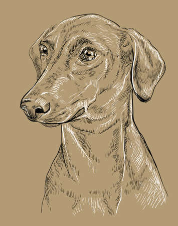 German Pinscher hand drawing black and white illustration.