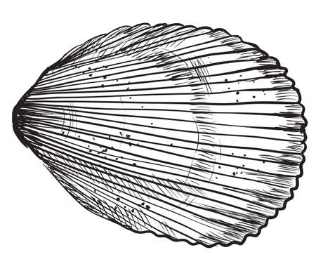 Hand drawing seashell. Vector monochrome illustration of Bivalve mollusk isolated on white background.