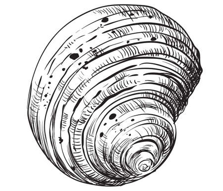 Hand drawing seashell. Vector monochrome illustration of swirl seashell isolated on white background.