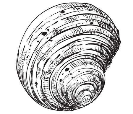 Hand drawing seashell. Vector monochrome illustration of swirl seashell isolated on white background.