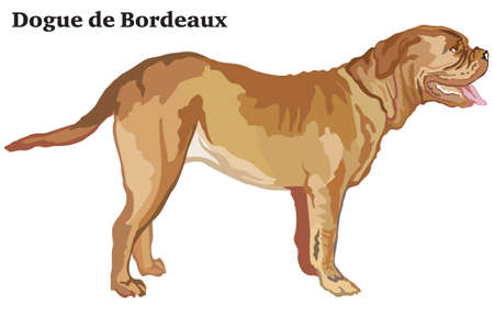 Portrait of standing in profile dog Dogue de Bordeaux, vector colorful illustration isolated on white background.  イラスト・ベクター素材