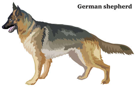 Portrait of standing in profile dog German shepherd, vector colorful illustration isolated on white background. Çizim