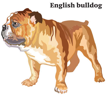 Portrait of standing in profile dog English bulldog, vector colorful illustration isolated on white background. Illustration