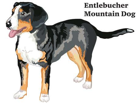 Ritratto di standing nel profilo Entlebucher Mountain cane, illustrazione vettoriale colorato isolato su sfondo bianco.