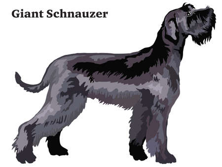 Portrait of standing in profile Giant Schnauzer, vector colorful illustration isolated on white background.