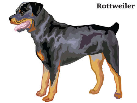 Portrait of standing in profile rottweiler, vector colorful illustration isolated on white background