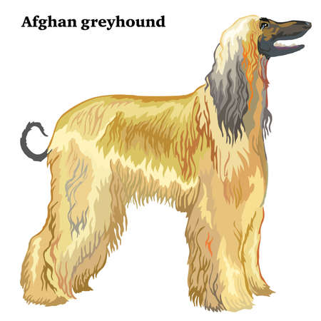 Portrait of standing in profile Afghan greyhound, vector colorful illustration isolated on white background