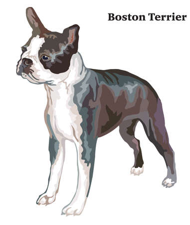 Portrait of standing in profile boston terrier, vector colorful illustration isolated on white background