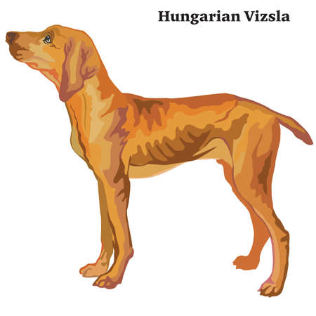 Portrait of standing in profile Hungarian pointer (Hungarian Vizsla), vector colorful illustration isolated on white background Ilustração